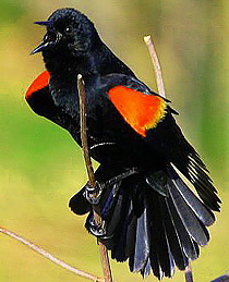 210-blackbird_red-shouldered
